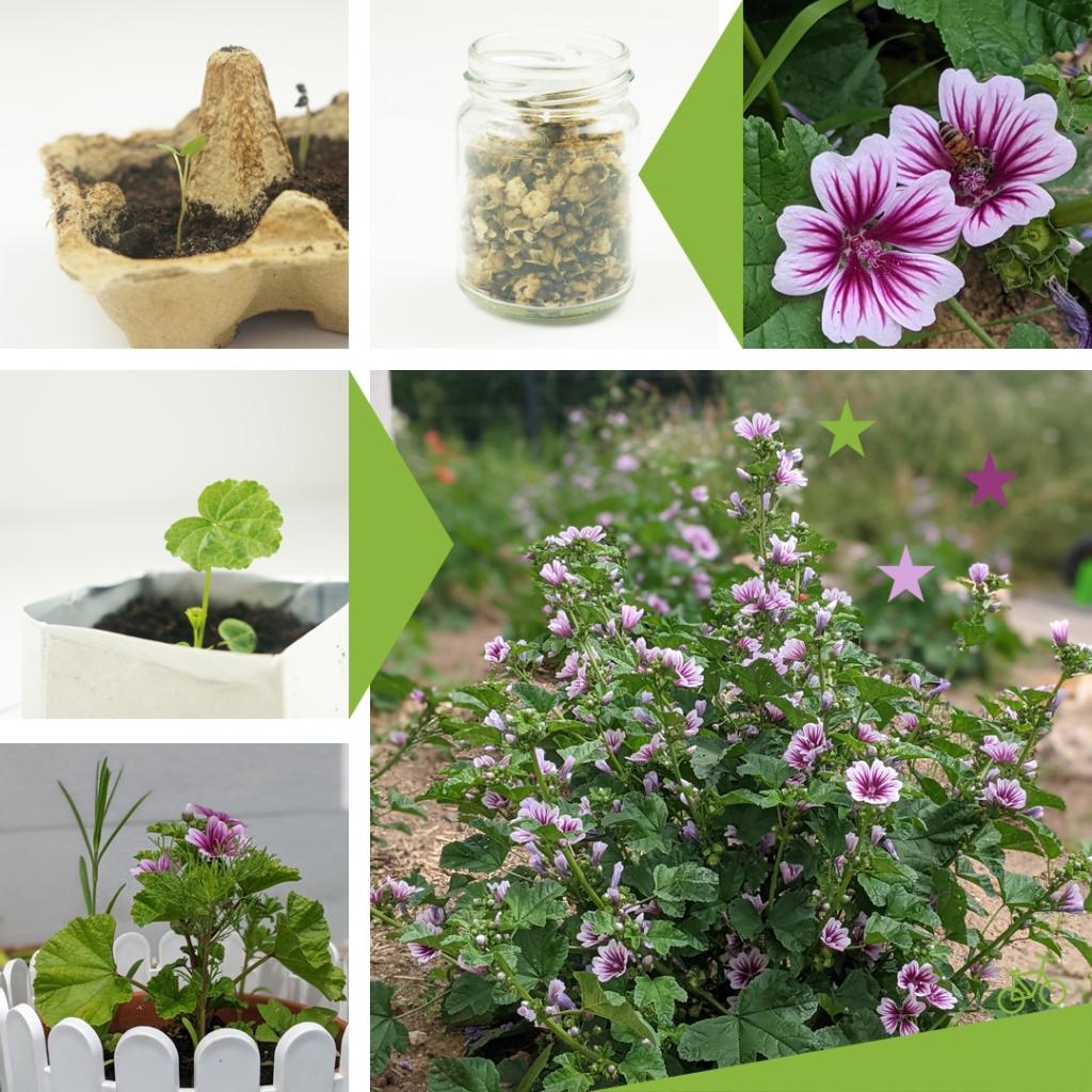 Malven aus Samen ziehen und auspflanzen