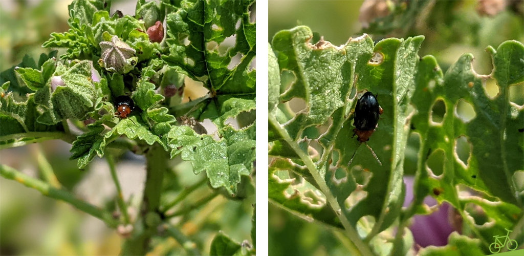 Erdfloh auf Malve und Malvenblättern mit Löchern von Schädlingen bzw. Schädlingsbefall