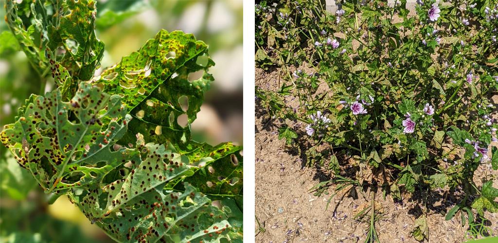 Malvenrost and Blattunterseite und verkahlte Pflanze